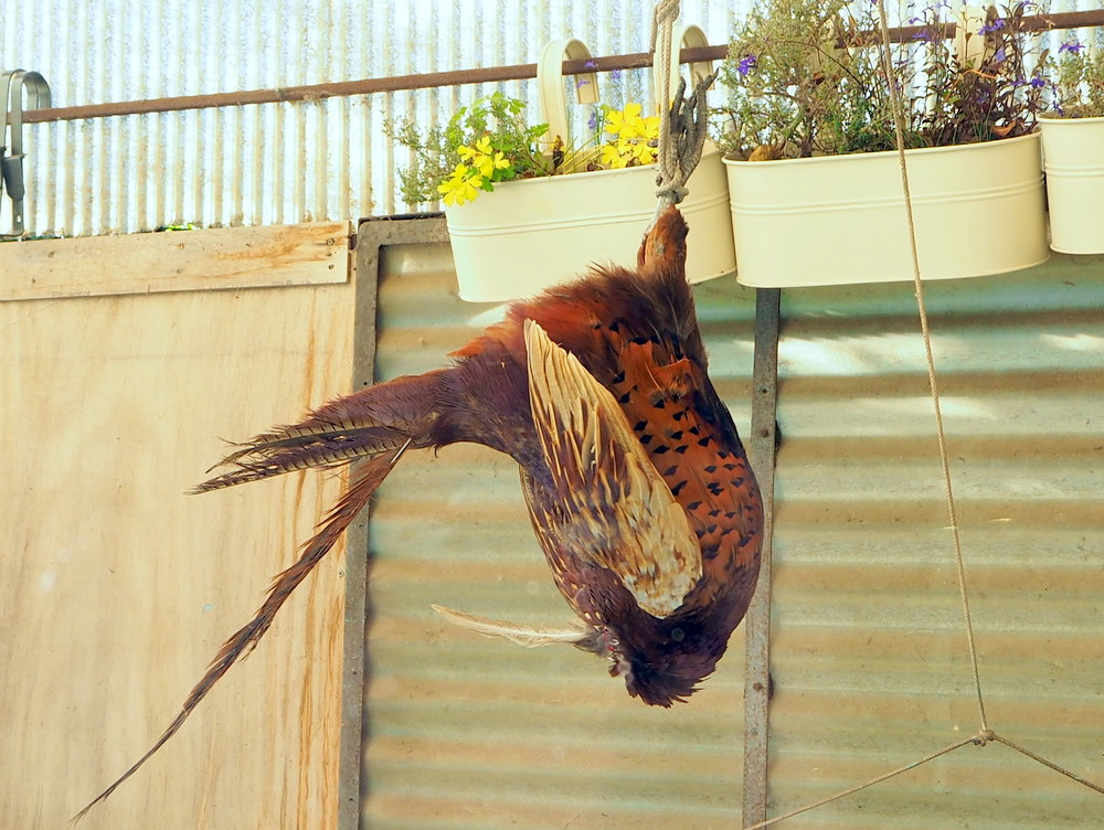 RikenMon Blog fazant