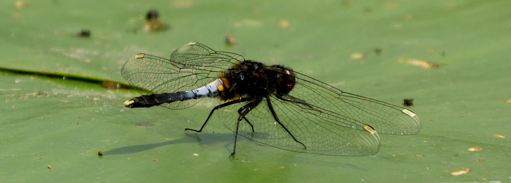 RikenMons blog EN dragonflies