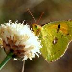 RIkenMonsblog vlinders in augustus