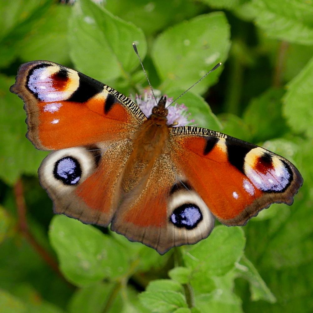 RikenMons Blog Vlinders in augustus